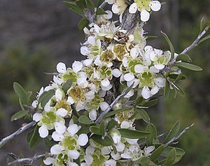 Leptospermum spinescens (2).jpg
