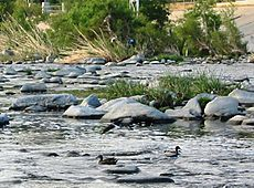 Los Angeles River Anas platyrhynchos crop