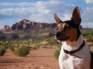 Rat terrier outdoors