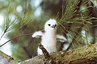 Fairy or White Tern hatchling