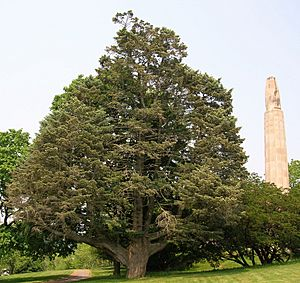 White Fir Tree in Walnut Hill Park, New Britain, CT - June 9, 2011