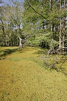 Curve of duckweed covered water edged with several bald cypress trees.JPG