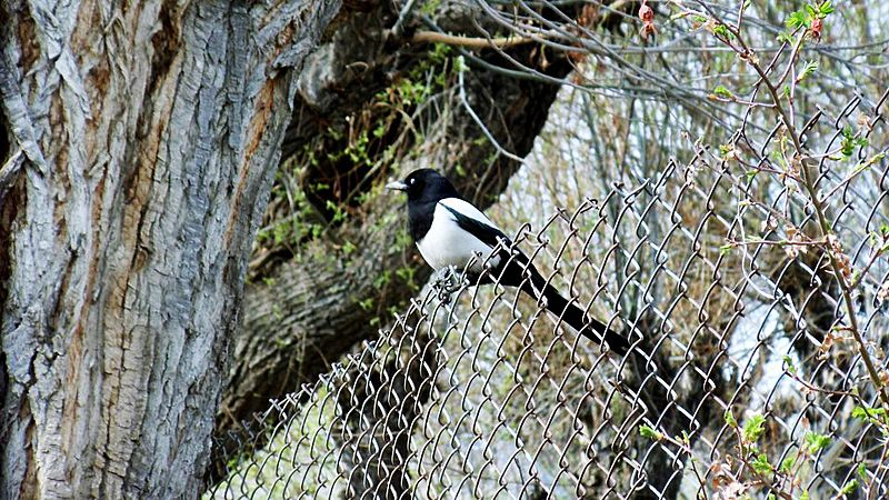 The Eurassian Magpie - A common sight in Kargil
