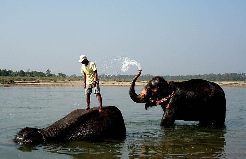 Chitwan Elephants bathing