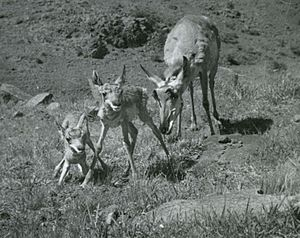 Doe with fawns about 1 hour old, Ft. Davis, Texas, 1947