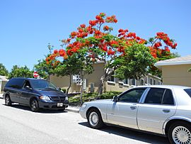 Royal Poinciana (Delonix regia) 006