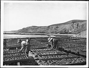 Workers drying abalone shells in the sun in southern California (CHS-1399)