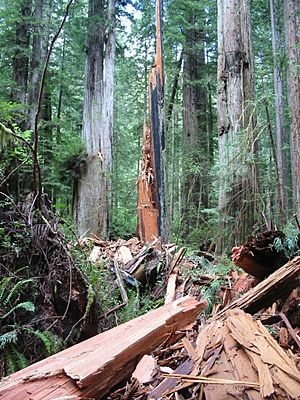 Lightning shattered redwood