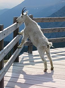 Mountain goat - artificial salt lick