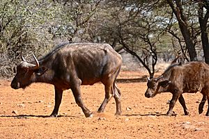 African Buffaloes (Syncerus caffer) cow and calf ... (32260503044)
