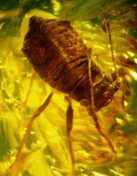 Baltic amber inclusions - Aphid (Hemiptera, Sternorrhyncha, Aphidoidea)7