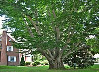 American Beech Tree, West Hartford, CT - July 6, 2013