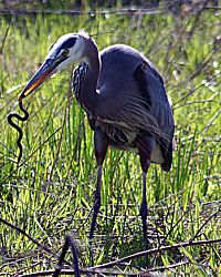 Heron with snake