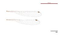 Austrosticta frater male wings (34441858900)