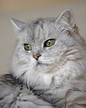 Chinchilla Persian cat with sea-green eyes