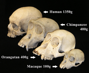 Primate skull series with legend cropped