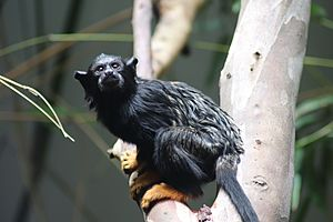 Red-handed Tamarin at Darling Downs Zoo, Queensland, Australia