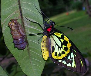 Ornithoptera euphorion, adult male emerging from chrysalis