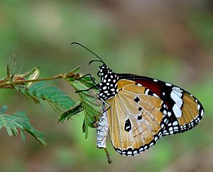 Danaus chrysippus male by kadavoor