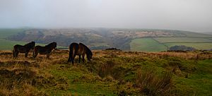 Exmoors on Exmoor