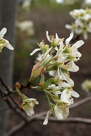 Amelanchier nantucketensis (Nantucket Juneberry) (34321014735).jpg