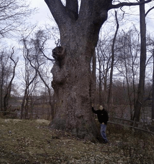 Clermont Oak in New Jersey