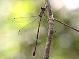Tropical Needle (female) 3944-2