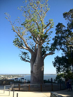 Baobab Kings Park Feb2012-5
