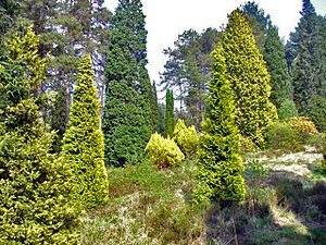 Conifers, Bedgebury Pinetum - geograph.org.uk - 796947