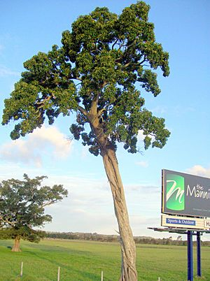 Deciduous Fig by Pacific Highway & Manning River.jpg