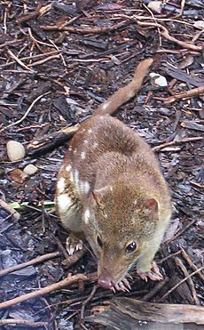 Spotted-tail Quoll Queen-Park