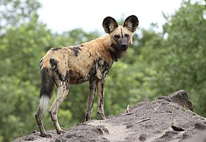 African painted dog, or African wild dog, Lycaon pictus at Savuti, Chobe National Park, Botswana. (32318493420)