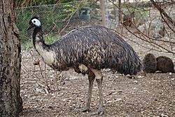 3afbb003d3 Emu Facts for Kids