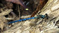 Blue with orange damselfly dorsal (16203476056)
