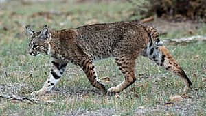 Calero Creek Trail Bobcat