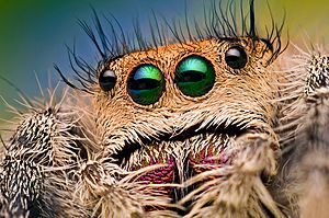 Eyes of a Female Jumping Spider - Phidippus regius - Florida (8177287529)