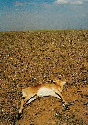 Mongolian Gazelle dead of drought
