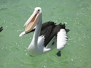 Tangalooma Pelican