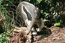 NationalZooAnteater