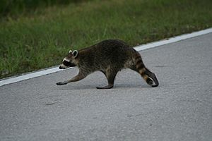 Racoon crossing road