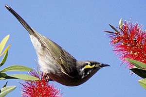 Yellow-faced Honeyeater callistemon