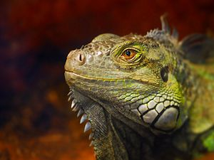 Green Iguana at Ponce Inlet Marine Science Center. - Flickr - Andrea Westmoreland