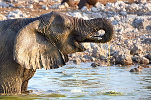 African Elephant Drinking 2019-07-25