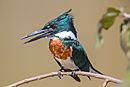 Amazon Kingfisher.jpg