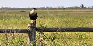 Northern crested caracara (Caracara cheriway), Attwater Prairie Chicken National Wildlife Refuge, Colorado County, Texas, USA (24 May 2014)