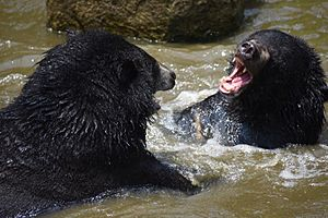 The Himalayan black bear (Ursus thibetanus) is a rare subspecies of the Asiatic black bear. 21
