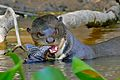 Giant Otter (Pteronura brasiliensis) eating a Sailfin Catfish (Pterygoplichthys sp.) (29189193916)