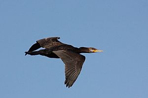 Great cormorant (Phalacrocorax carbo) in flight