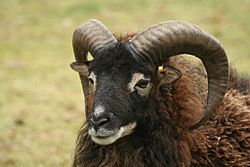 Soay-sheep-arjecahn