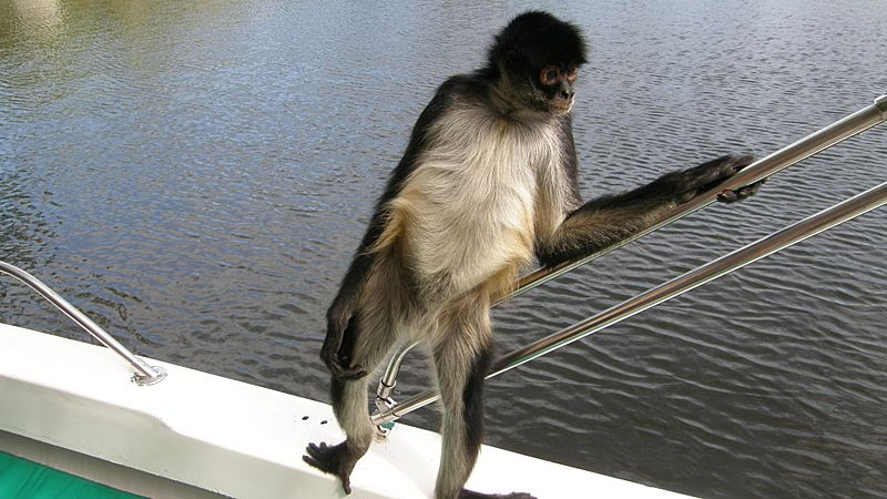 Spider monkey hanging out on a boat in Belize